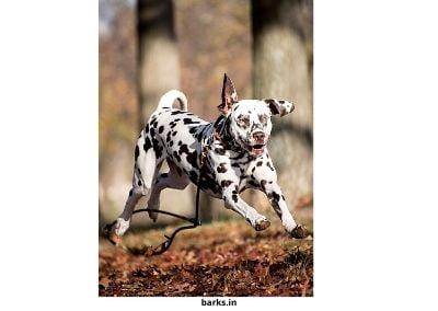 Liver Dalmatian running