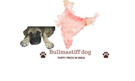 Bullmastiff price in India across all major cities