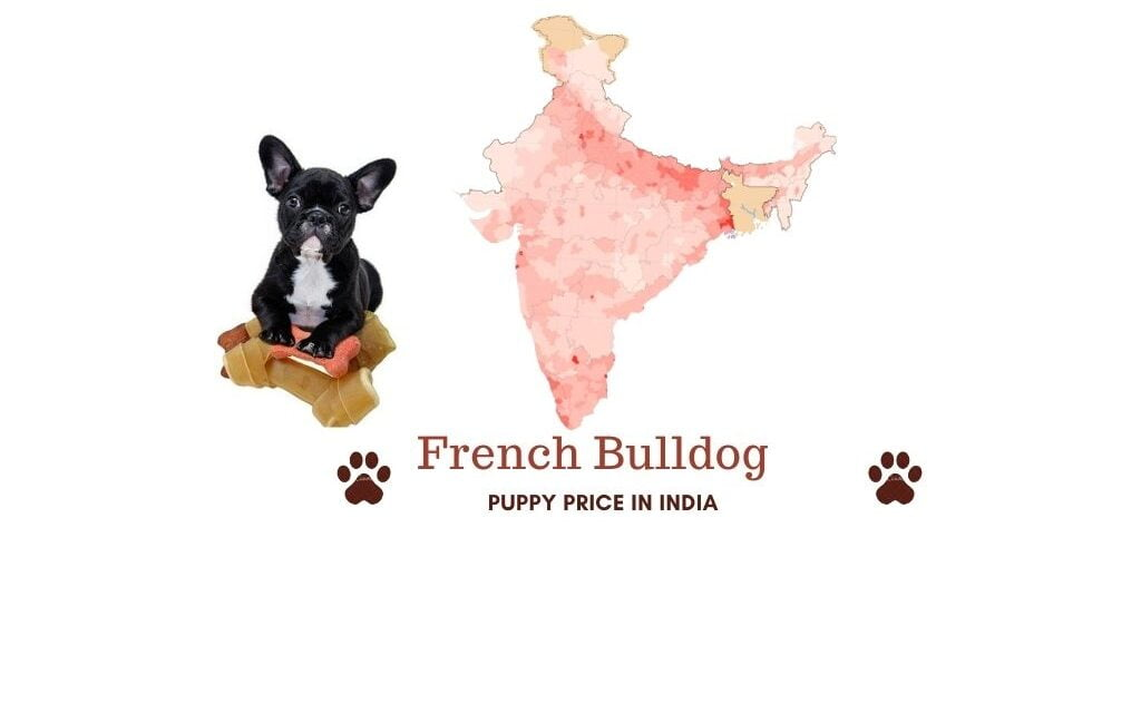 French Bulldog price in India across all major cities