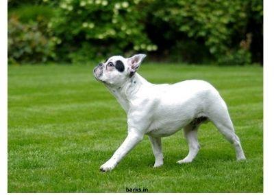 French Bulldog dog price